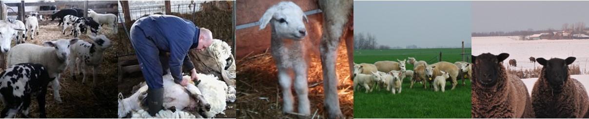 schapencombi